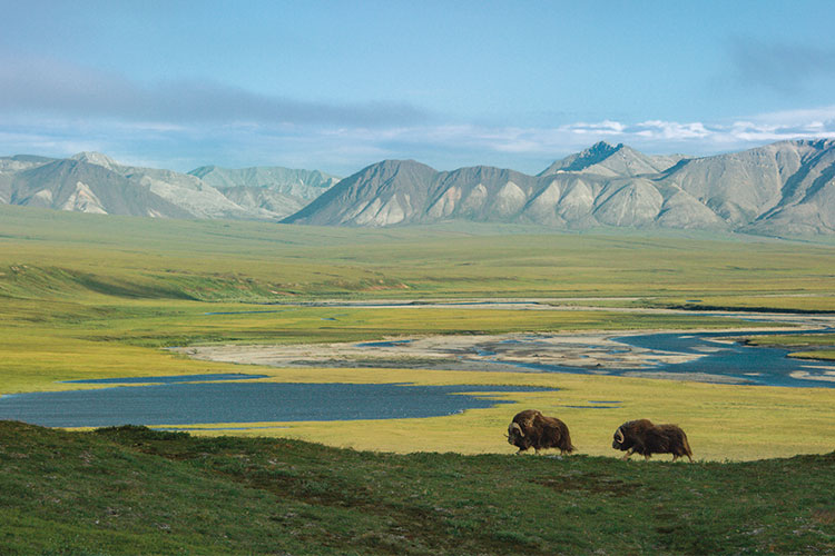 Image Description: Musk oxen have been around for almost two millions years. Along with caribou, they are the only hoofed animals that survived the end of the Pleistocene era. Today, they roam the tundra of the Arctic National Wildlife Refuge in Alaska, in search of grasses, mosses and herbs in the permafrost. Image Credit: Florian Schulz